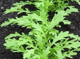 มัสตาร์ด กรีน ฟริลส์(mustard green frills) 200 เมล็ด