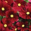 ดอกคอสมอส โซนาต้า เรด 10เมล็ด/ซอง
