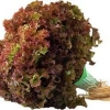 เรด คอรัล (Red Coral) 100 เมล็ด(เคลือบ)