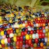ข้าวโพดอัญมณีคละสี (glass gem corn) 10เมล็ด/ซอง