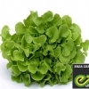 green oakleaf (VIZIR) enza Zaden 1000 pills(เคลือบ)