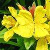 ดอกอีฟนิ่ง พริมโรสสีเหลือง (yellow evening primrose) 50เมล็ด/ซอง