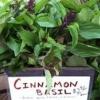 ซินนามอน เบซิล (cinnamon basil) 100เมล็ด/ซอง