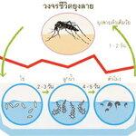 วงจรชีวิตยุงลาย แมลงร้ายนำภัยโรคไข้เลือดออก