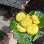 มะเดื่อฝรั่ง ชินเจียง 15 เมล็ด/ซอง