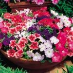 ดอกพิทูเนียป่า 20เมล็ด/ซอง