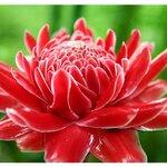 ดอกดาหลาสีแดง 30ม./ซอง