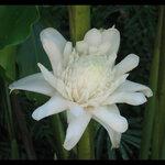 ดอกดาหลาสีขาว 30ม./ซอง