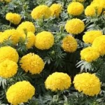 ดอกดาวเรืองเหลืองอร่ามศรี 10 เมล็ด ตราเสือดาว