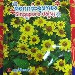 ดอกกระดุมทอง singapore daisy ภูเขาทอง
