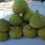 bardacik fig 15เมล็ด/ซอง