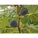 black patlican fig 15เมล็ด/ซอง