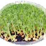เมล็ดถั่วลันเตางอก(โตเหมียว) Green Pea Seed