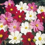 ดอกคอสมอส ซีเซลล์คละสี 10เมล็ด/ซอง