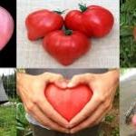 มะเขือเทศ อ็อกซ์ฮาร์ท (oxheart tomato) 5เมล็ด/ซอง