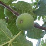 autumn green 15เมล็ด/ซอง
