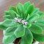 แหวนใบมะกอกนำโชค แหวนเงินแท้หุ้มทองคำขาวประดับเพชรCZ thumbnail 3