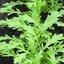 มัสตาร์ด กรีน ฟริลส์(mustard green frills) 200 เมล็ด thumbnail 1