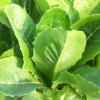 คอส (Green Cos) 10 เมล็ด(เคลือบ)
