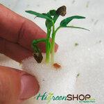 ฟองน้ำปลูกพืช 10 แผ่น