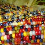 ข้าวโพดอัญมณี (glass gem corn) 7เมล็ด/ซอง