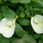 ดอกอัญชัญขาว 10เมล็ด/ซอง