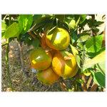 ความรู้ โรคพืช ผลไม้ตระกูลส้ม ( โรคเน่าจากเชื้อรา Alternaria )