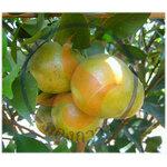 ความรู้ โรคพืช ผลไม้ตระกูลส้ม ( โรคเน่าสีน้ำตาล )